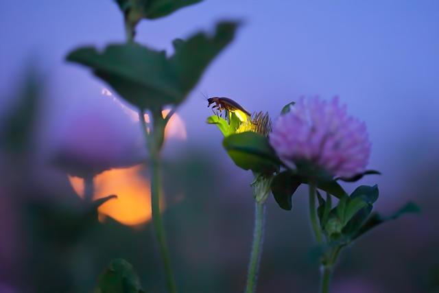 Slika 2 Krijesnica u prirodnom staništu
