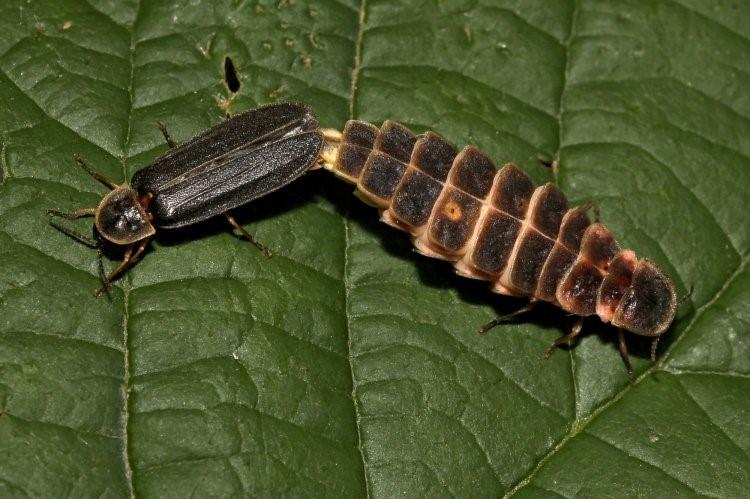 Slika 1. Mužjak (lijevo) i ženka (desno) ivanjske krijesnice